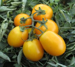 Pomodori Goldy